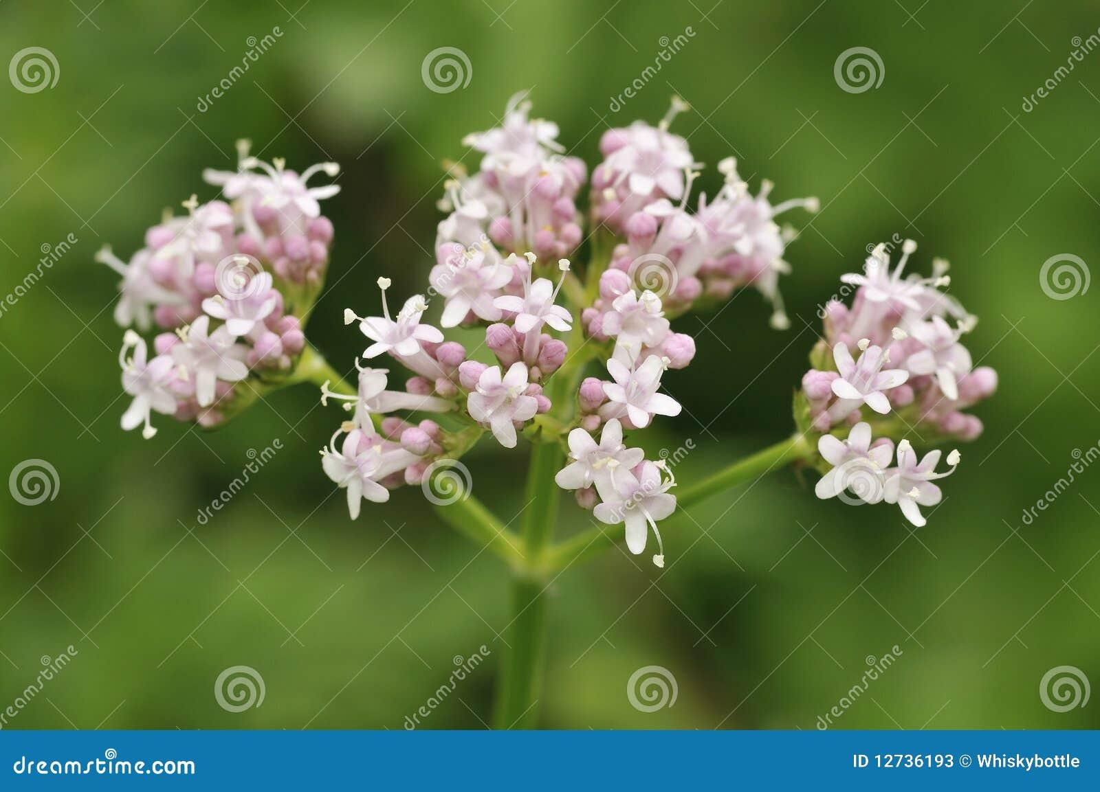 Valeriana común - officinalis del Valeriana