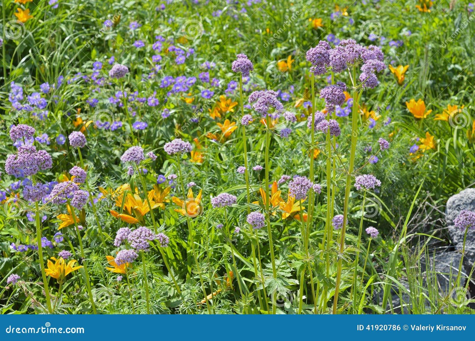 Valeriana medicinal 3 de la hierba