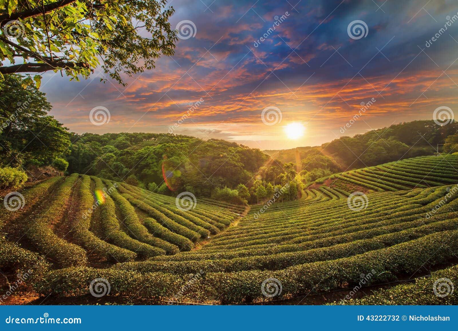 Vallée de plantation de thé au ciel rose dramatique de coucher du soleil à Taïwan