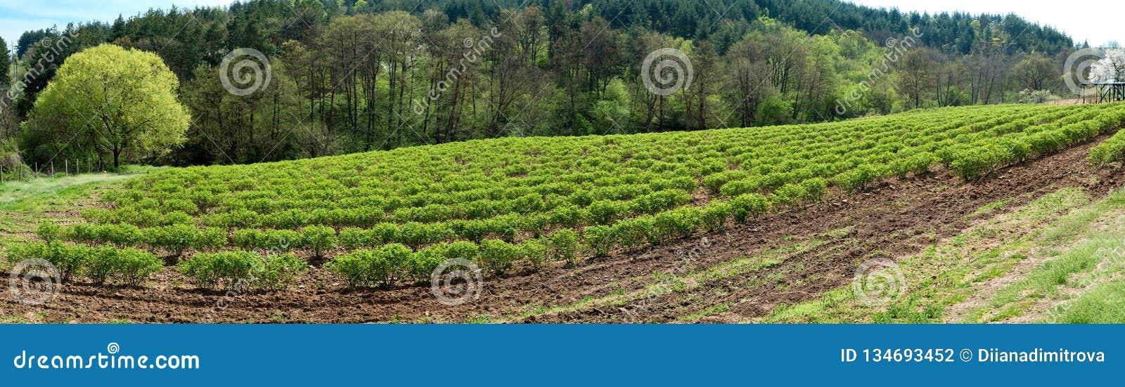 Vallée rose bulgare près de Kazanlak Rose Damascena met en place au printemps - la bannière tôt