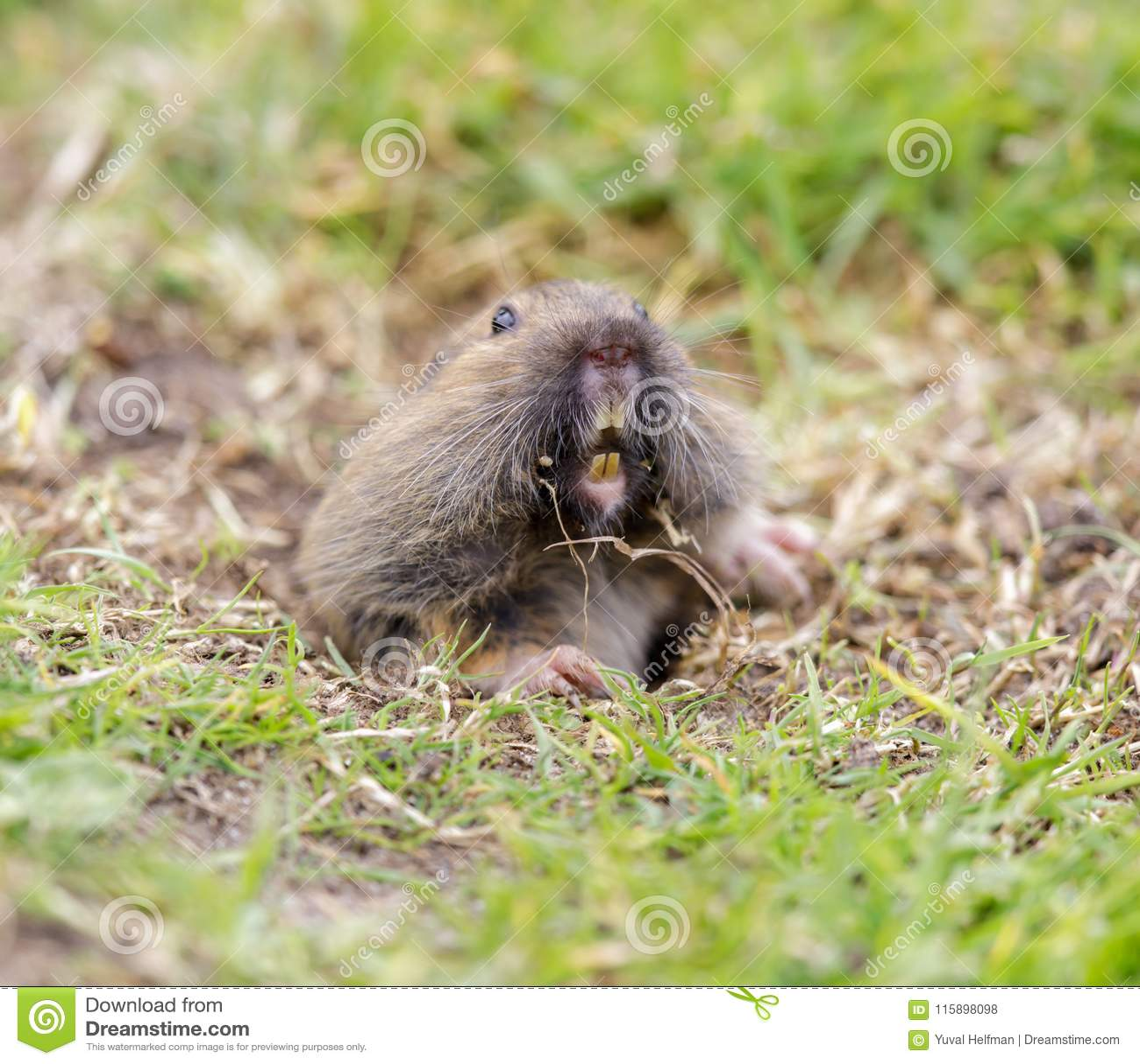 Valley Pocket Gopher Thomomys Bottae Emerging From The Burrow  Stock