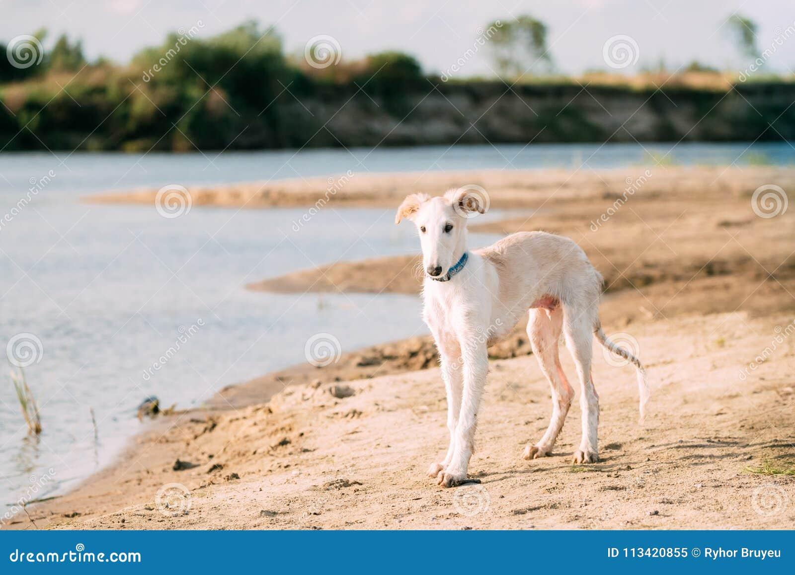 Valp av ryska vinthunden som jagar Sighthound Russkaya Psovaya Borzaya