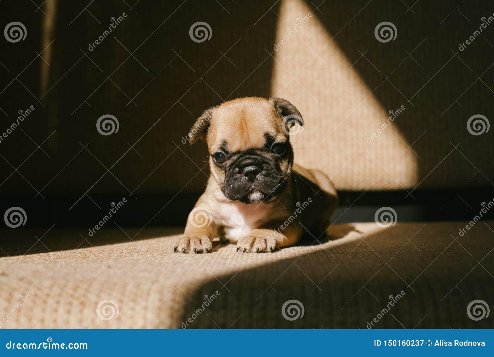 Valp för fransk bulldogg på soffan