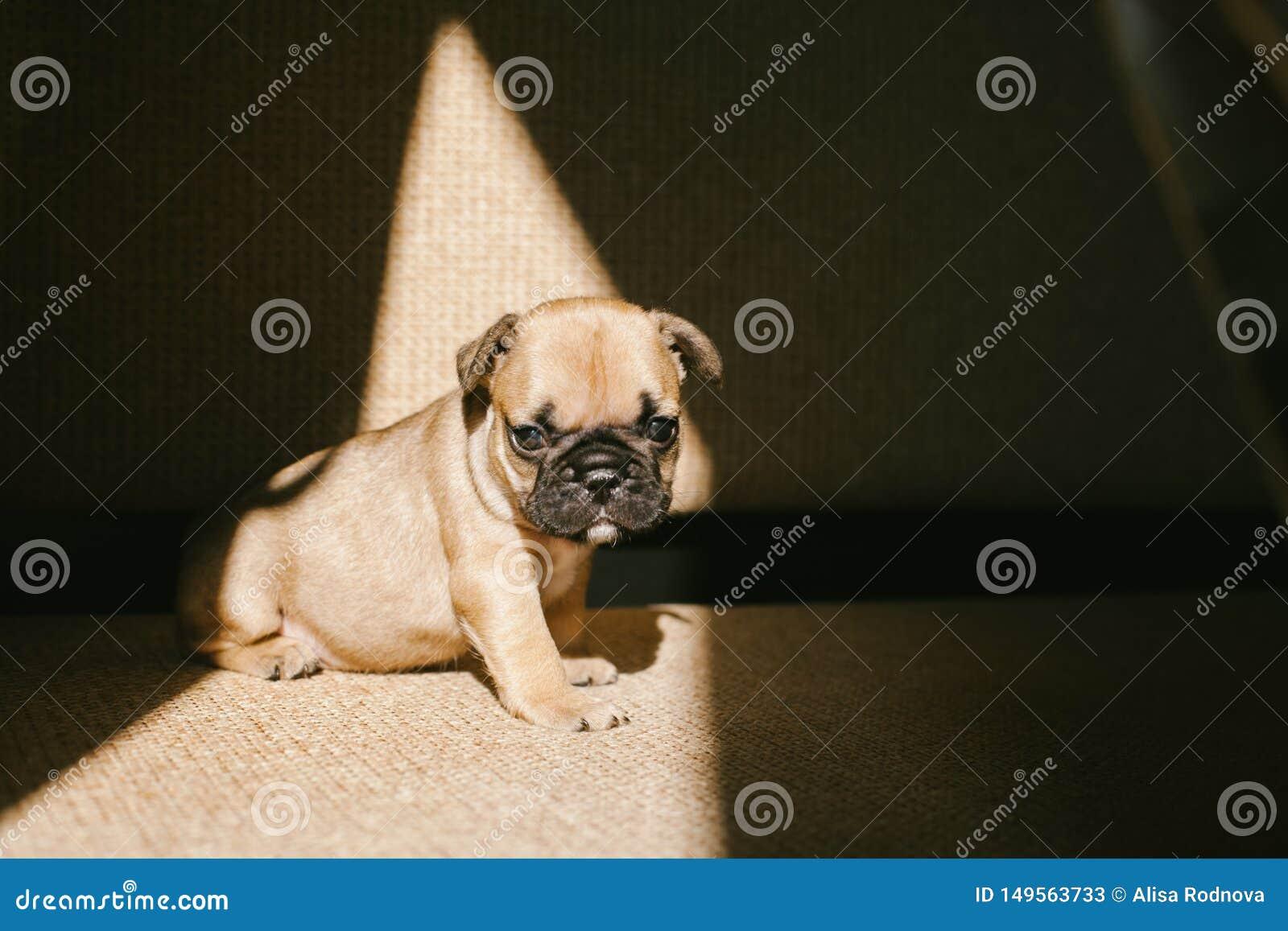 Valp f?r fransk bulldogg som sitter p? soffan