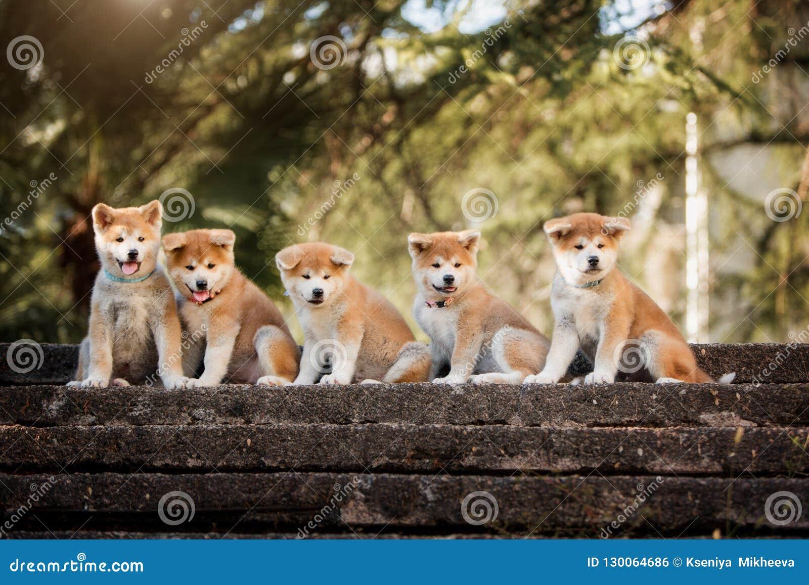 5 valpar av röd nytt års Akita hundkapplöpning som sitter på trappa i natur på solljus