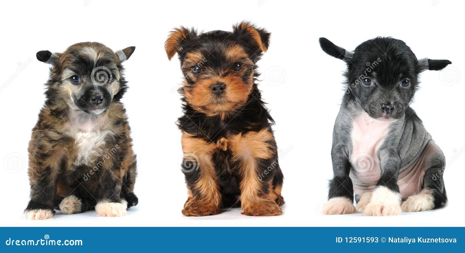 Valpar för varv för avelhundgrupp