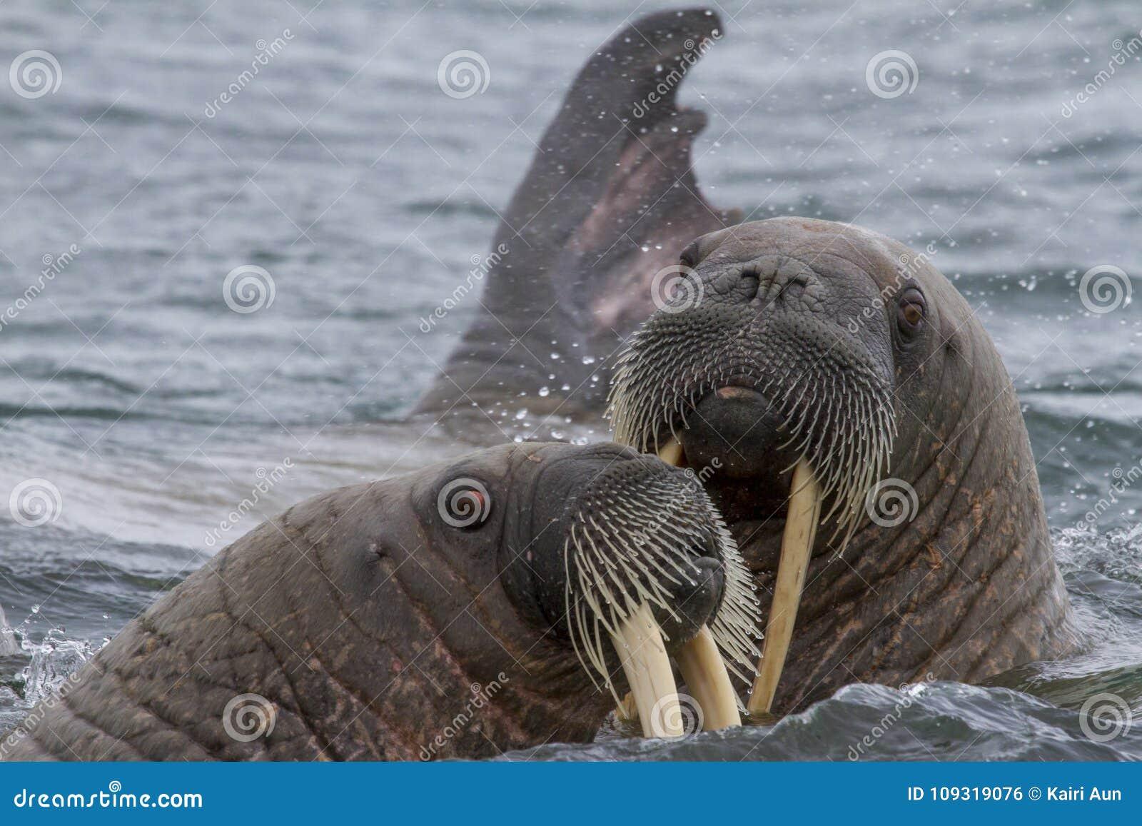 Valrossar i ett vatten i Svalbard