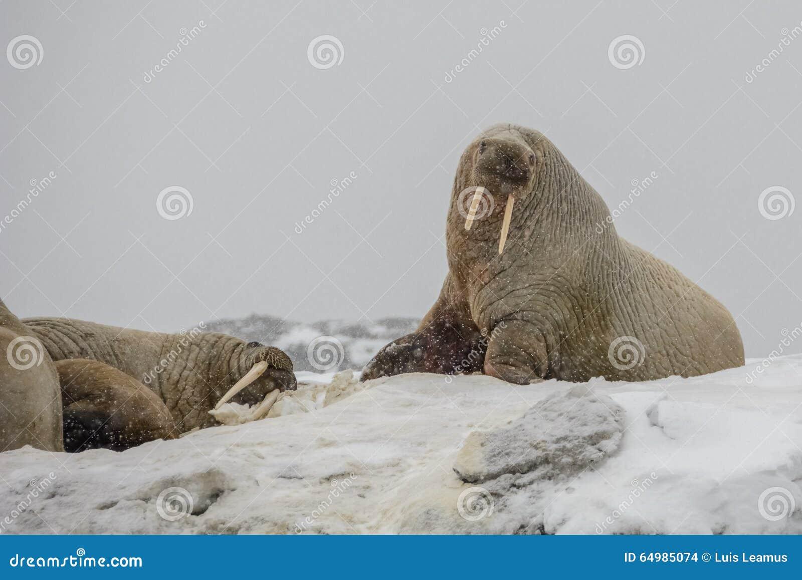 Valrosskoloni - Hamburg Bukta - Spitsbergen