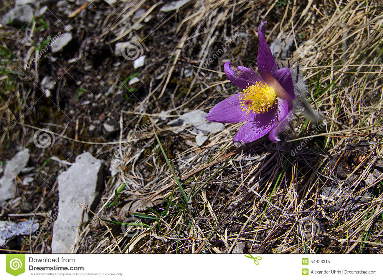 Valuable Purple Flower On Rock Background (pulsatilla ...