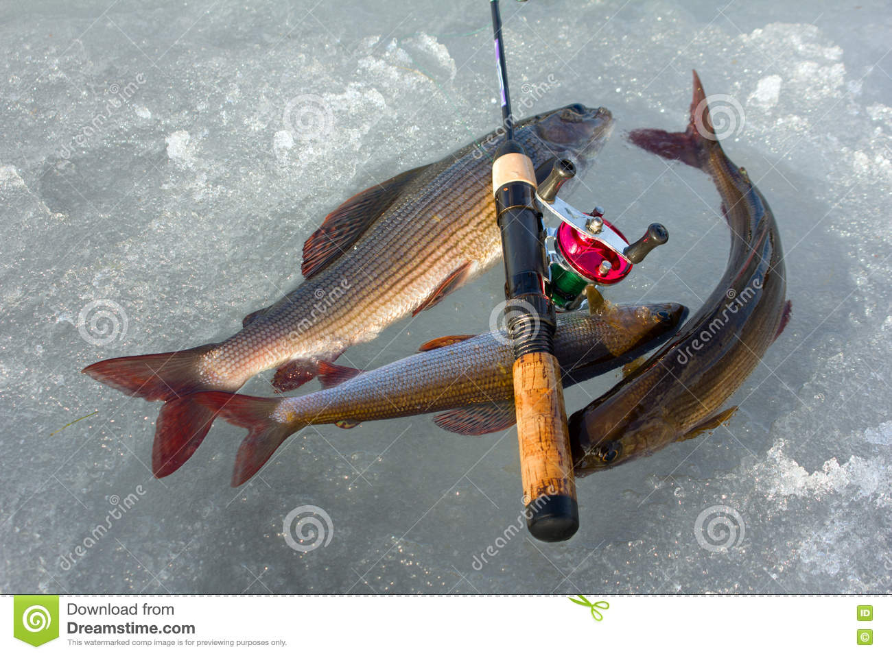 Valuable Trophy. Grayling Caught On Ice Fishing With ...