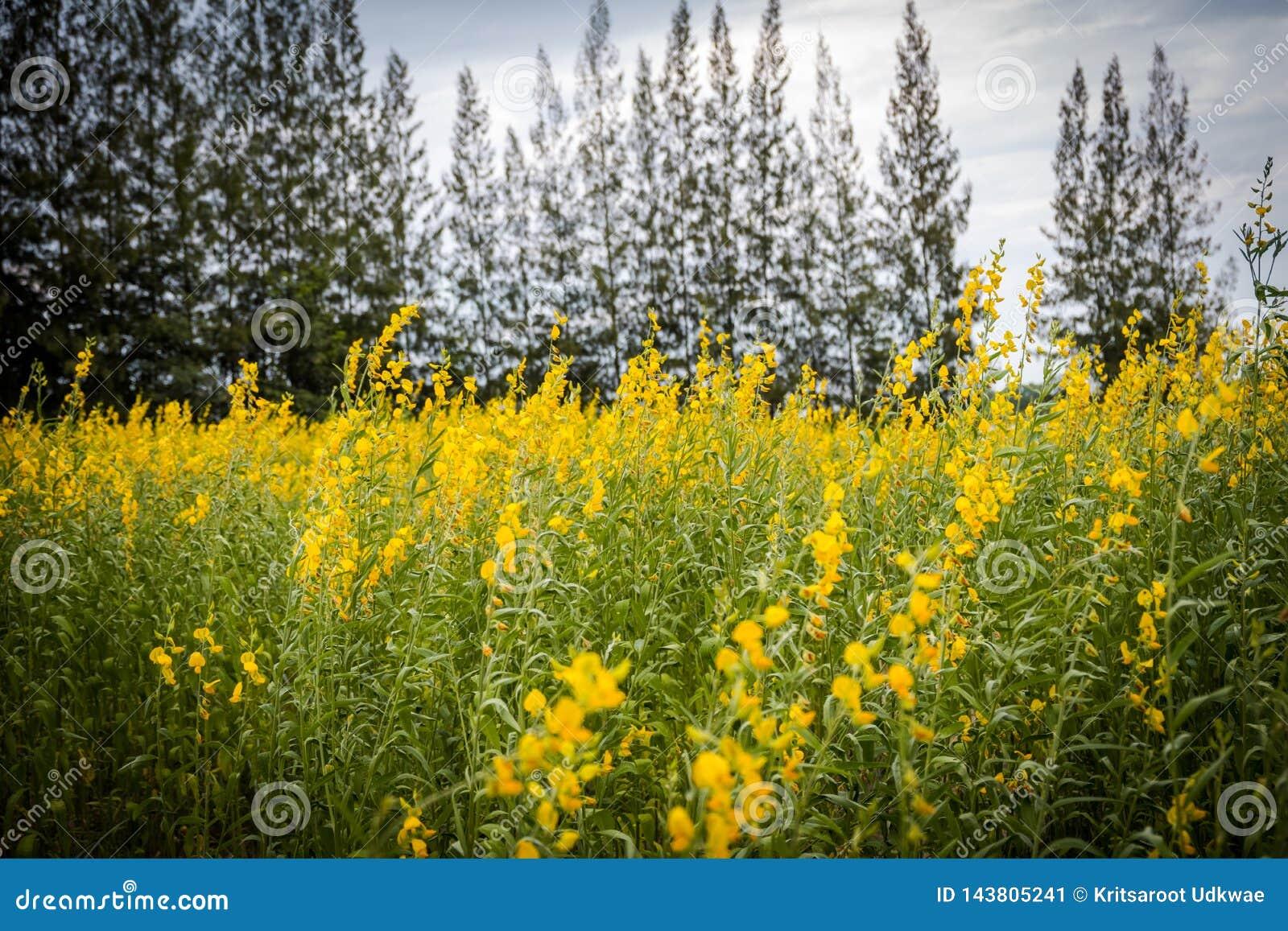 Van Crotalariajuncea of Sunn de gebieden van hennepbloemen