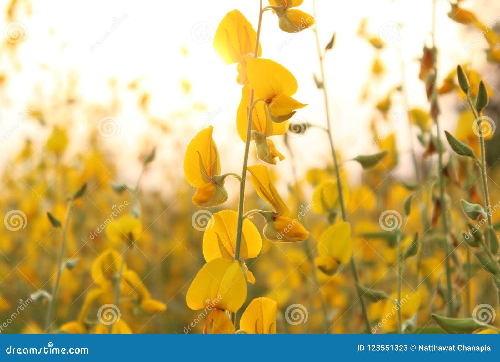 Van de Crotalariabloem daalt de gele zon als achtergrond