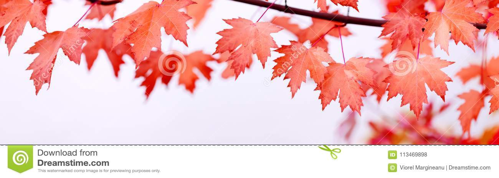 Van de de Dagesdoorn van Canada de bladerenachtergrond Dalende rode bladeren voor Canad