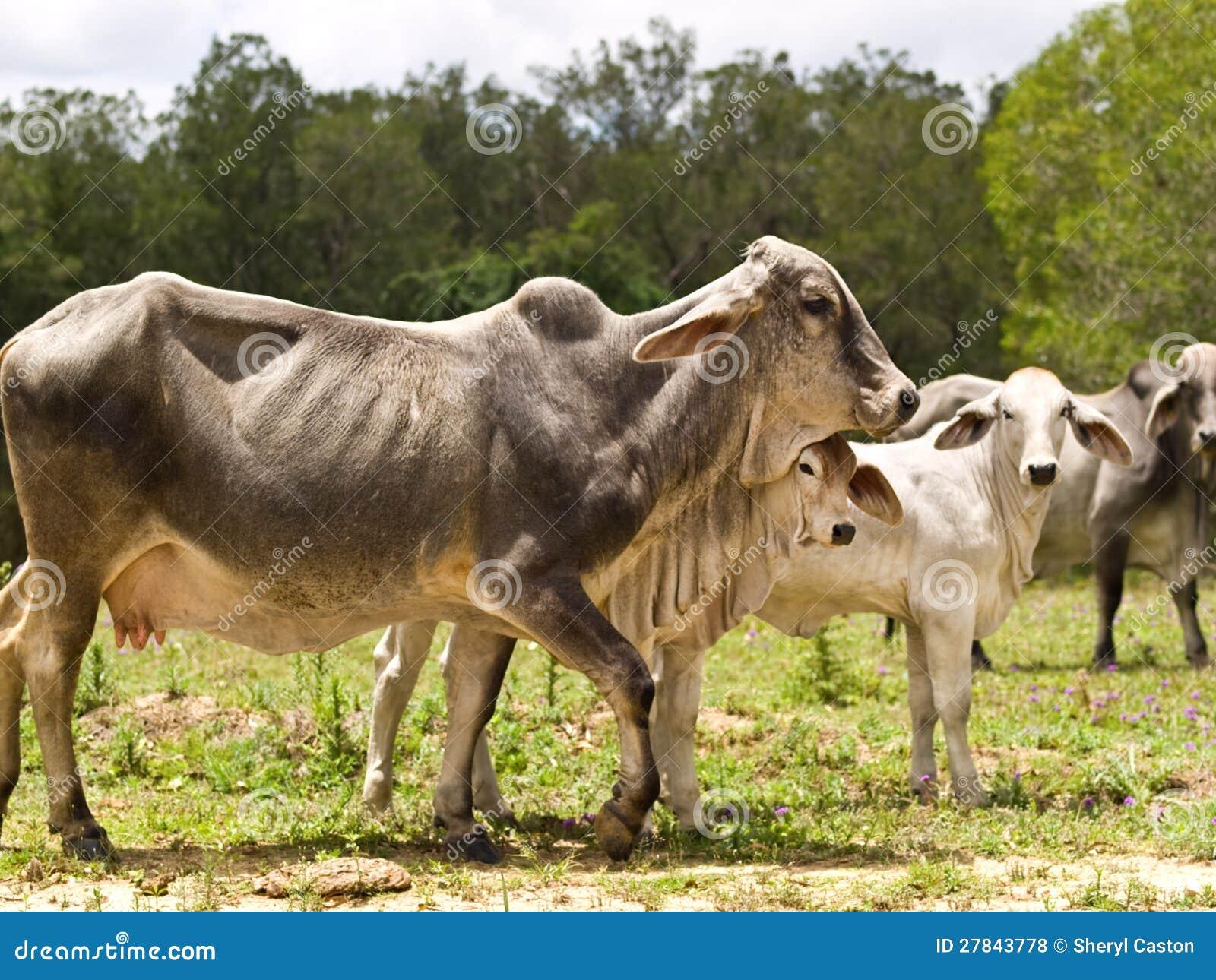Van de de familiekoe van het vee van de het kalfsvaars de stieren levende dieren stock foto - Fotos van levende ...