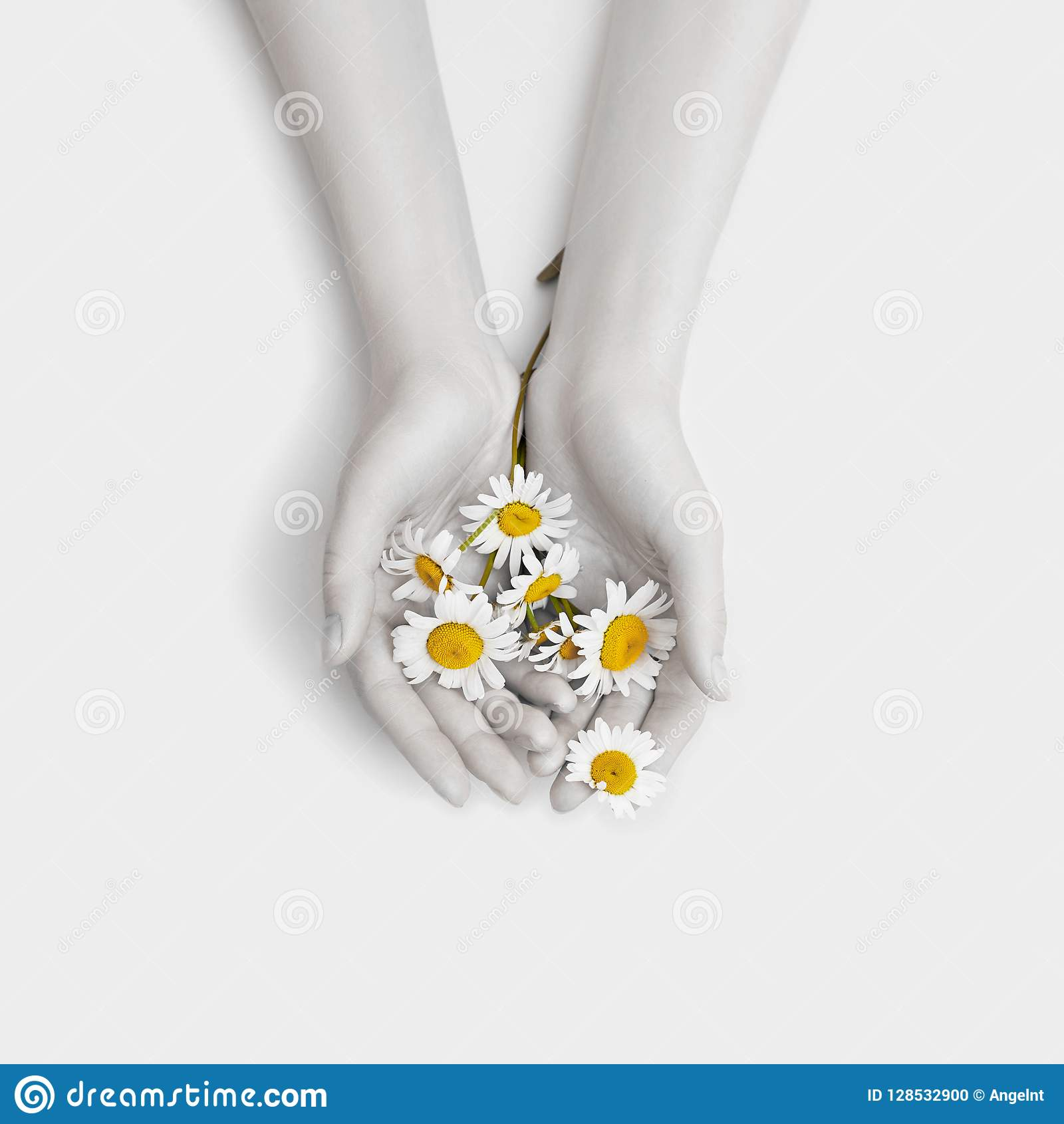Van de de kunstkamille van de manierhand bloeit de natuurlijke de schoonheidsmiddelenvrouwen, witte mooie kamille hand met helder