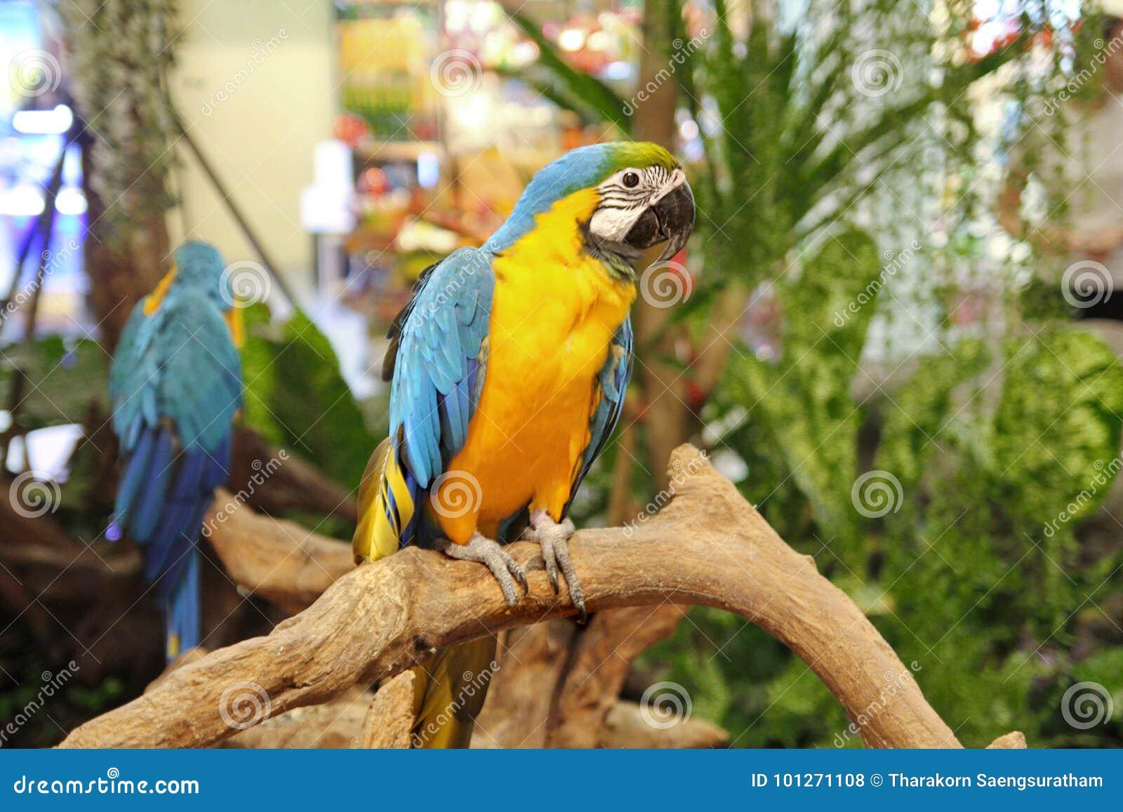 4 van de mannelijke blauwe en gele aramaanden papegaai in wandelgalerij