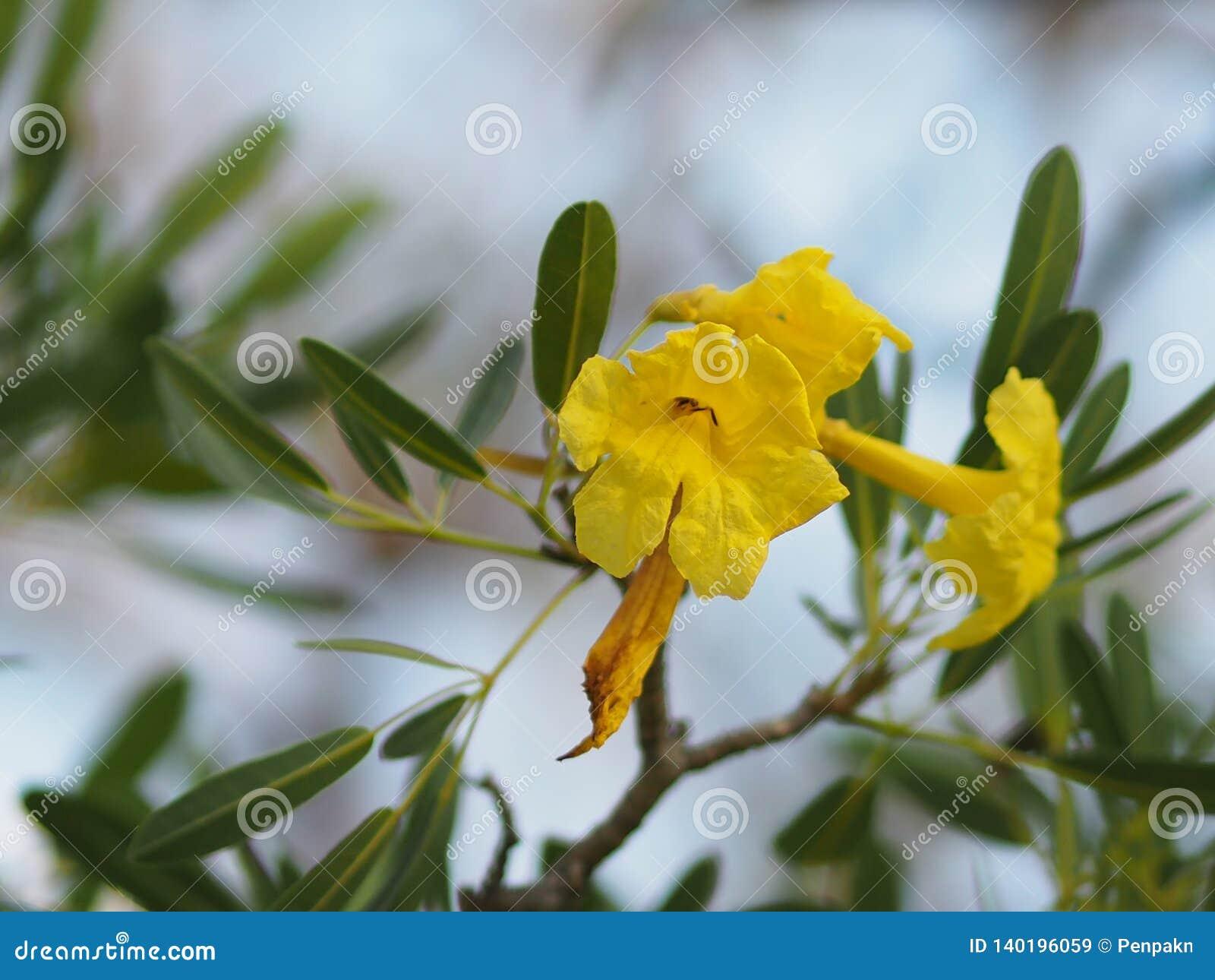 Van de oleanderapocynaceae van Nerium van de bloemblaadjebreekbaarheid van de de Oleander de Zoete Oleander gele Bloem van Rose B