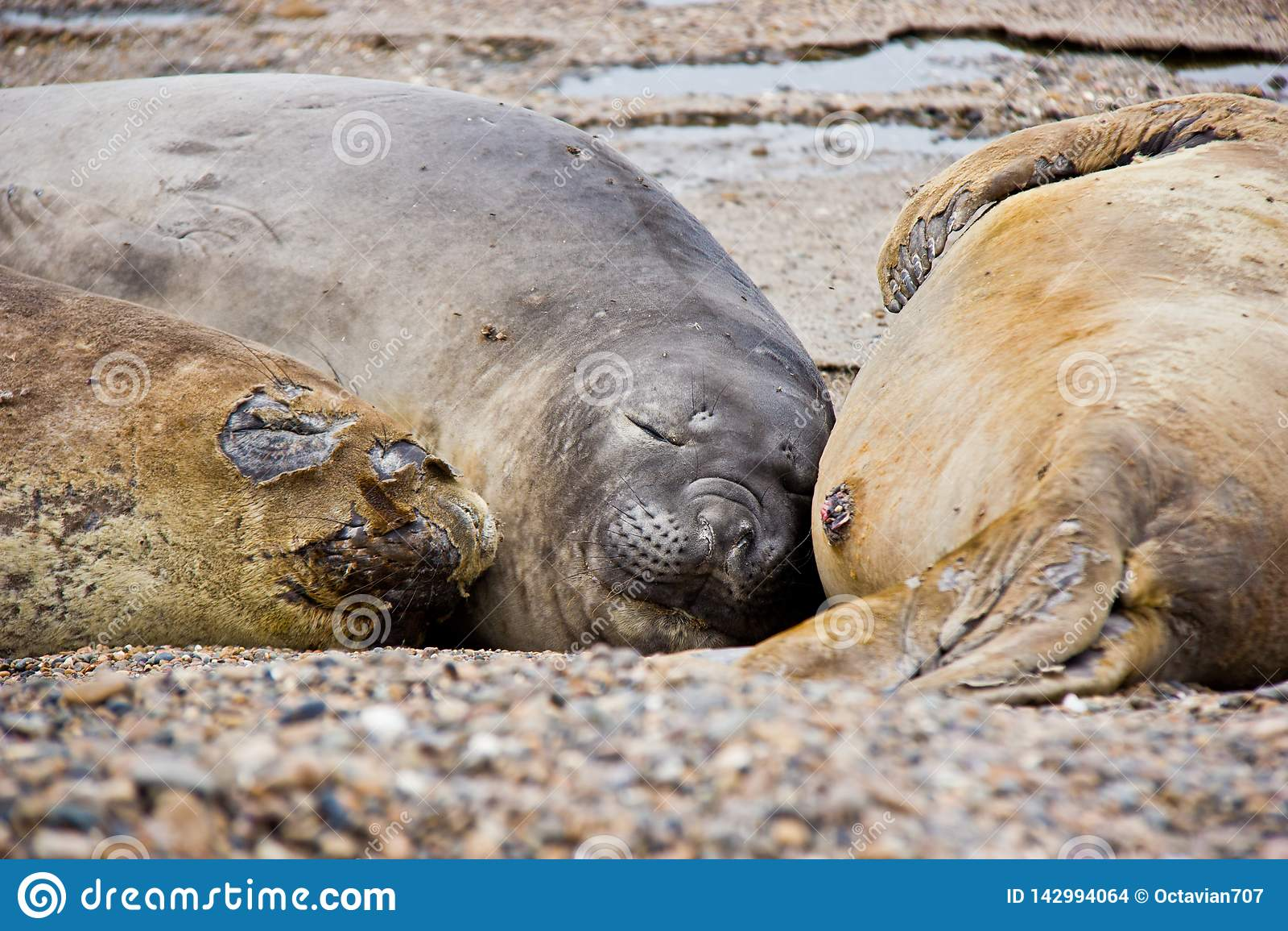 Van de overzeese de slaap hondfamilie op strand in Argentinië