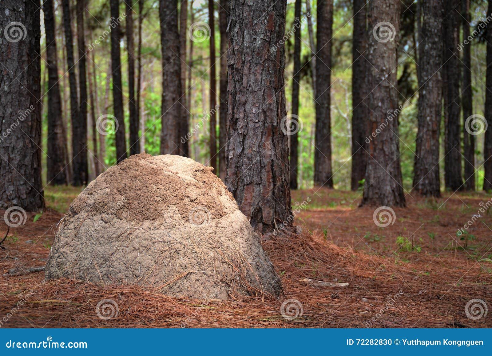 Van de pijnboomboom en termiet nesten