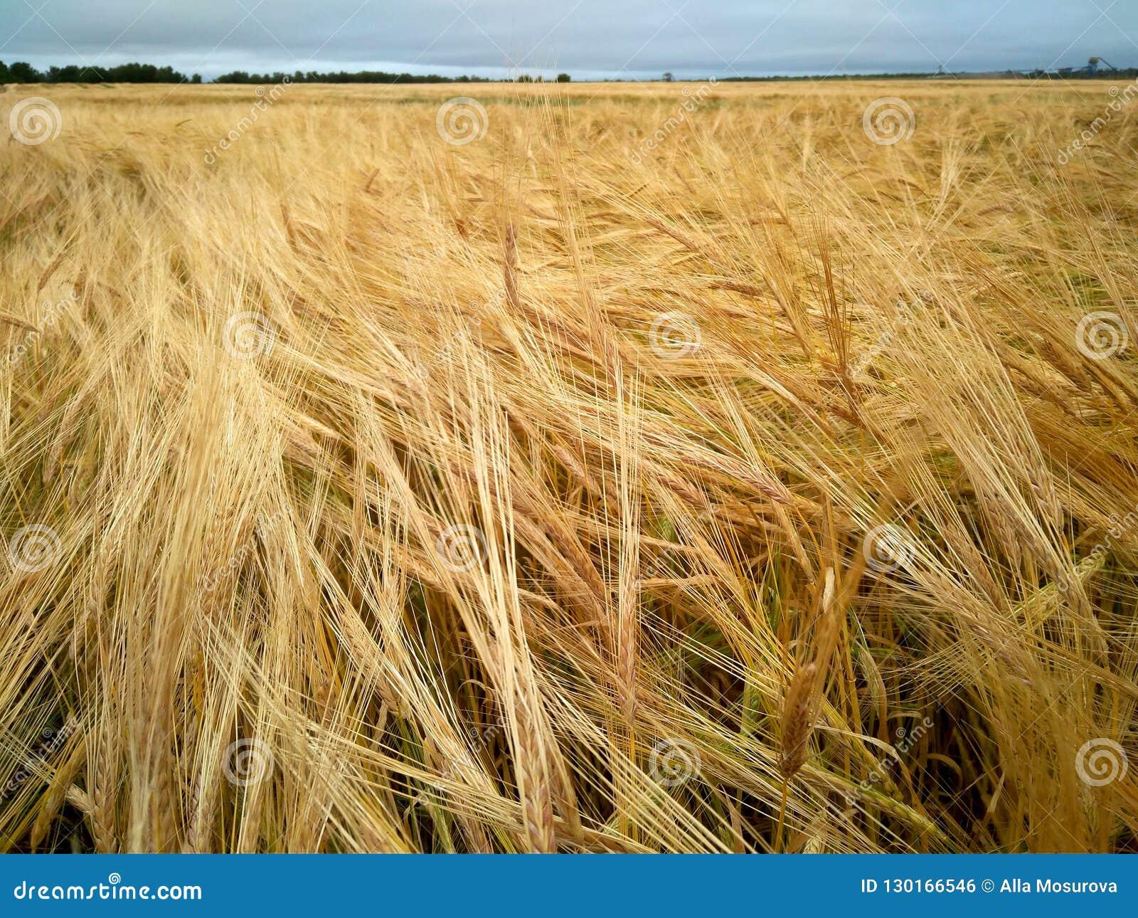 Van de de roggebloem van het roggebrood van de het gebiedslandbouw van het de agronoomgewas van de de productielandbouw van de gr