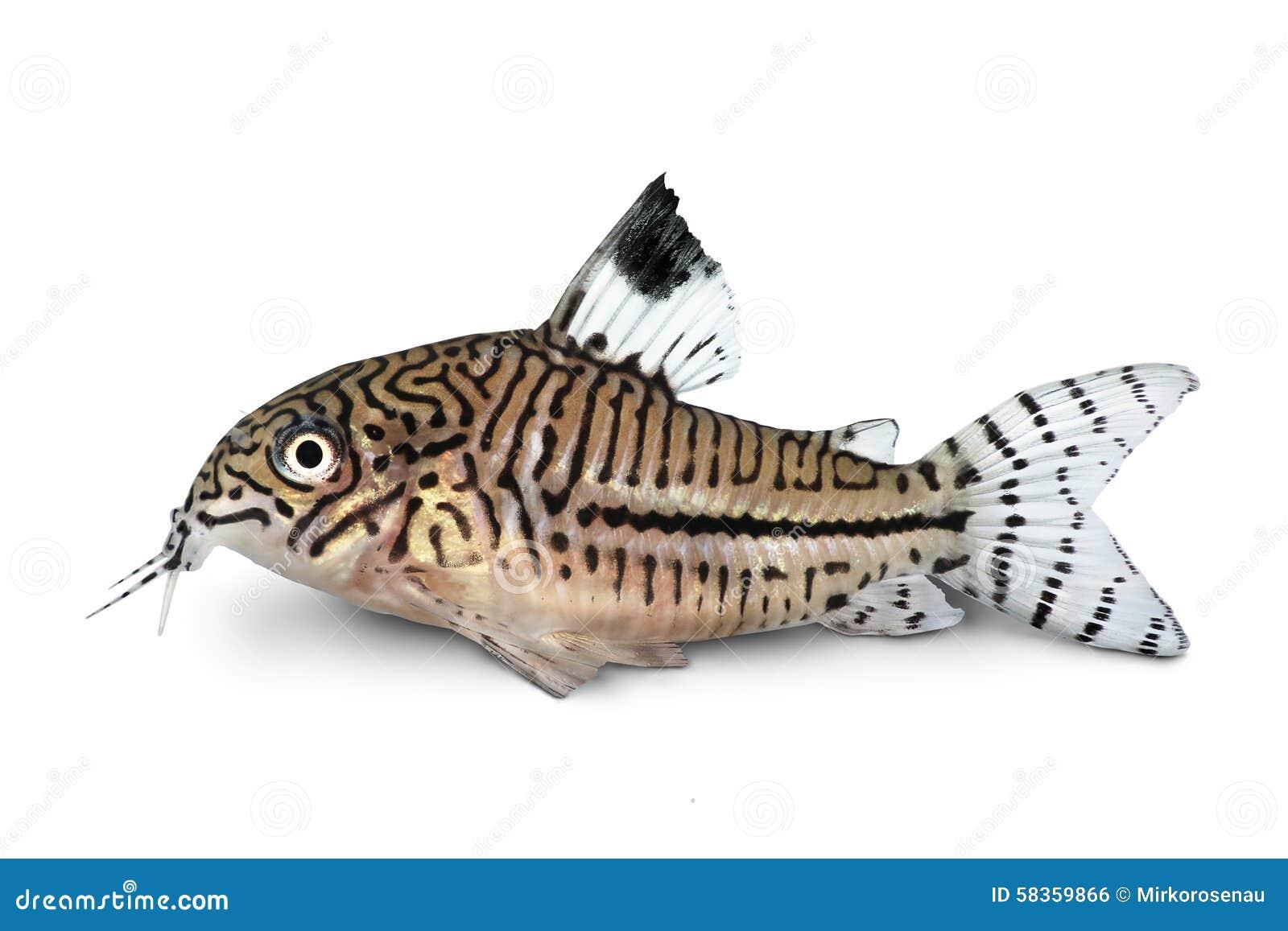 Van de trilineatuskatvis van luipaardcory corydoras julii zoetwater het aquariumvissen