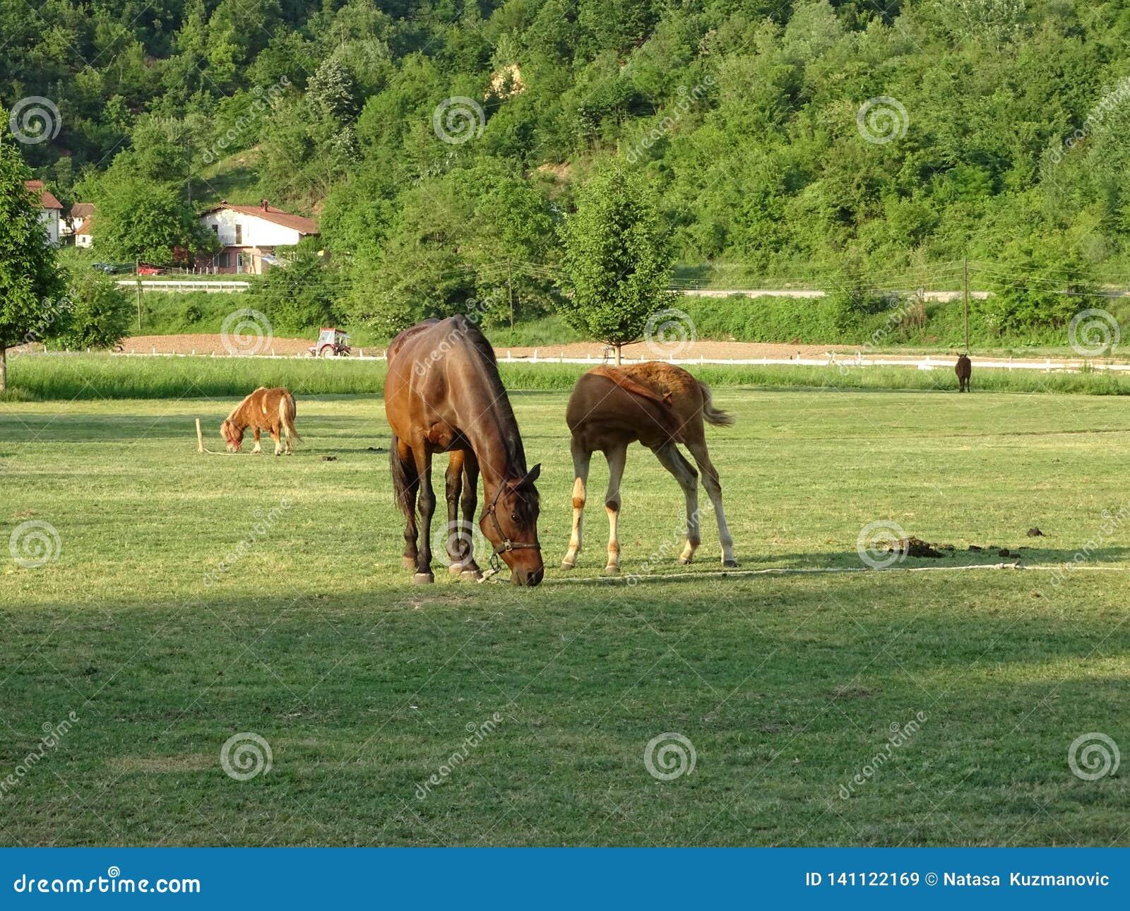 Van het moederpaard en Veulen het weiden in de weide
