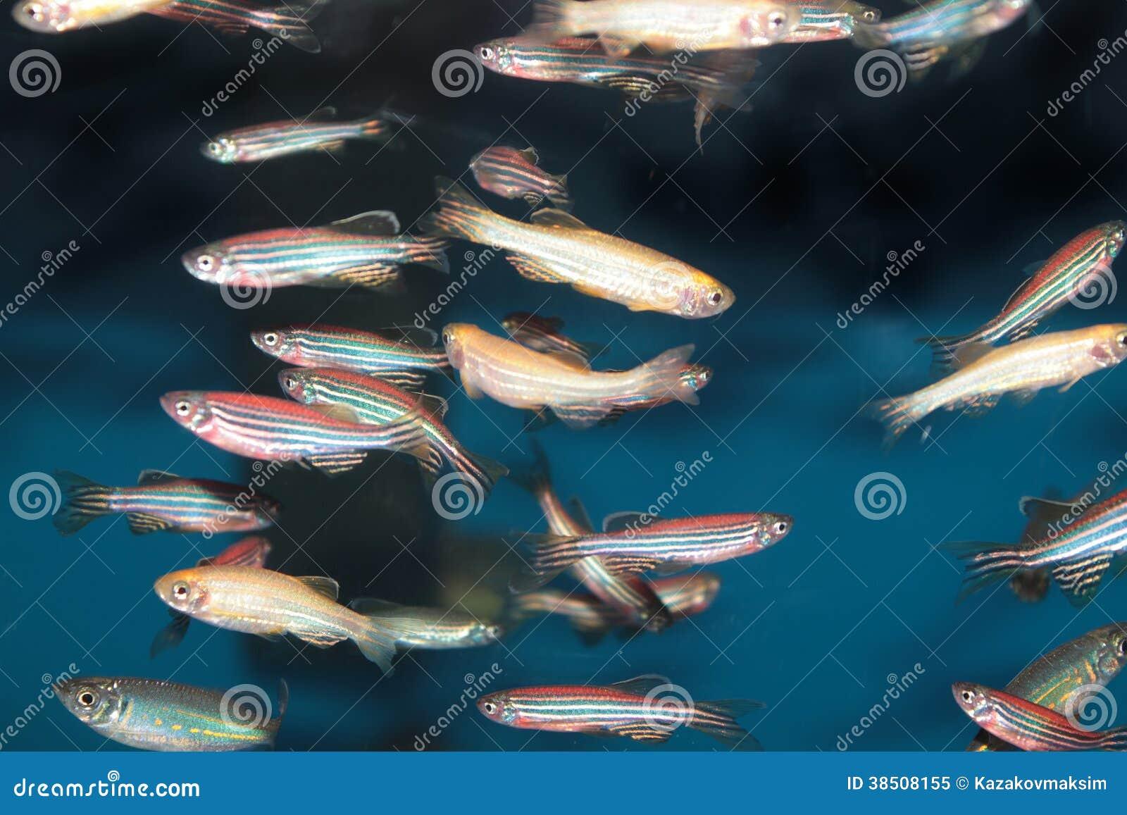 Van het Zebrafish (Danio-rerio) aquarium de vissen