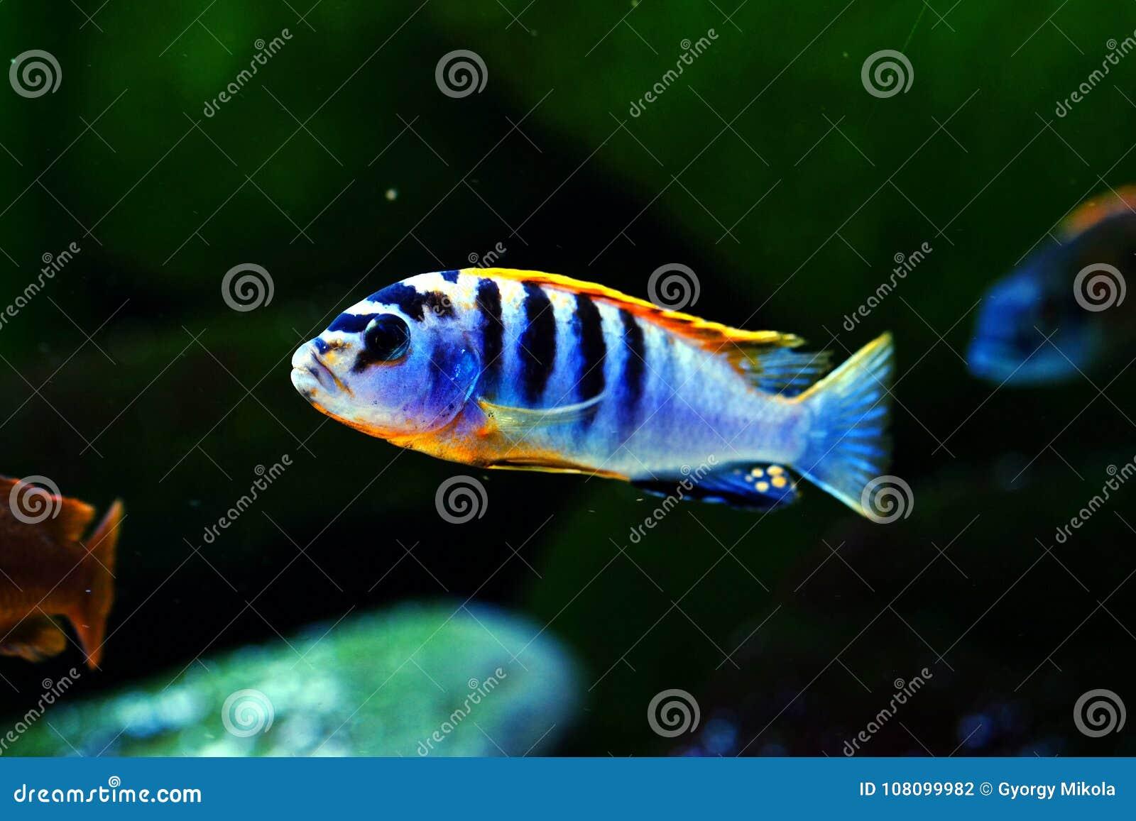 Van hongizweden van Malawi cichlid Pseudotropheus het aquariumvissen zoetwater