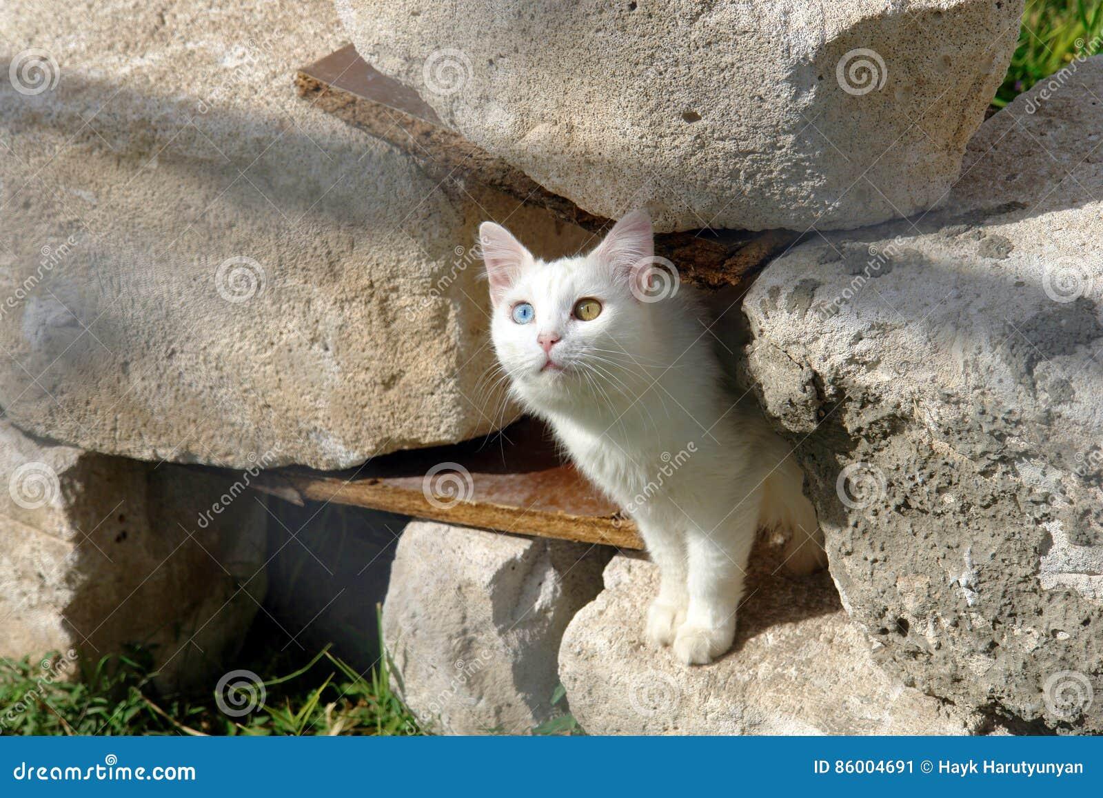 Van Kot Obraz Stock Obraz Złożonej Z Rzadki Oczy Pussycat 86004691