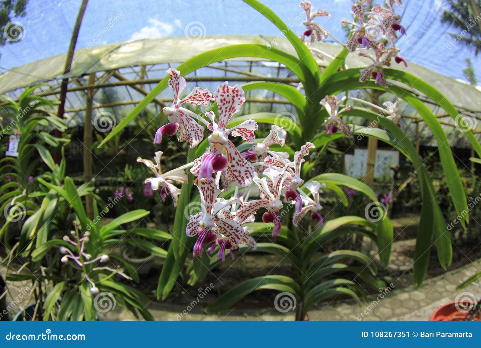 Vanda Tricolor Orchid