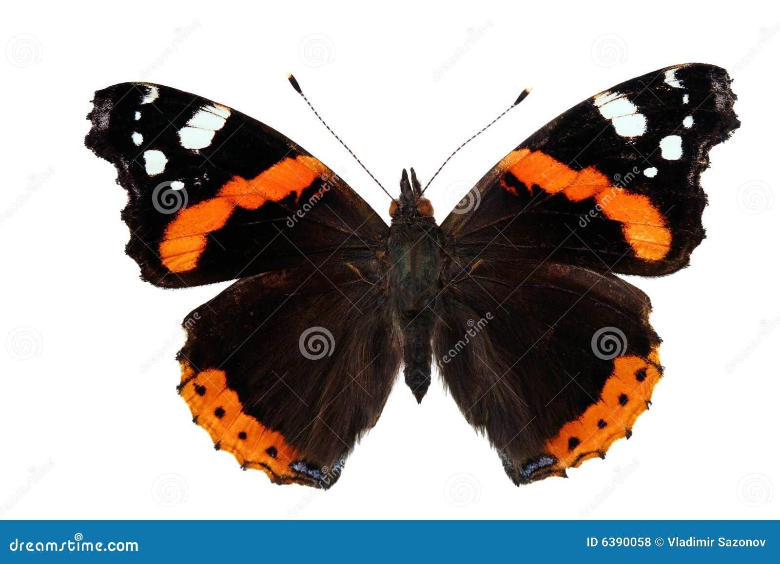 Vanessa бабочки atalanta