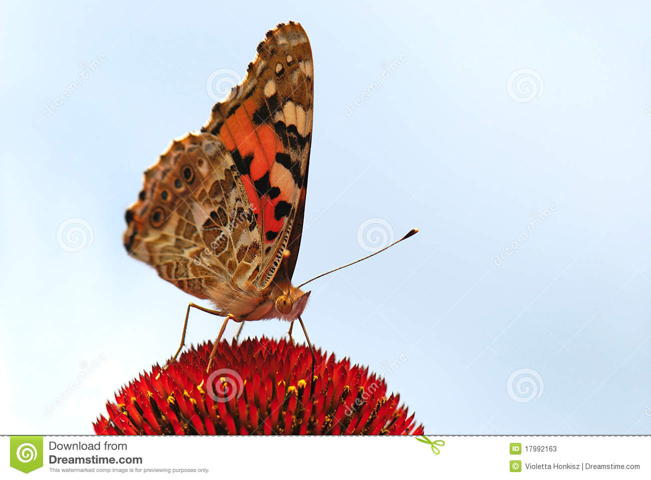 Download Vanessa cardui stock image. Image of flower, bloom, animal - 17992163