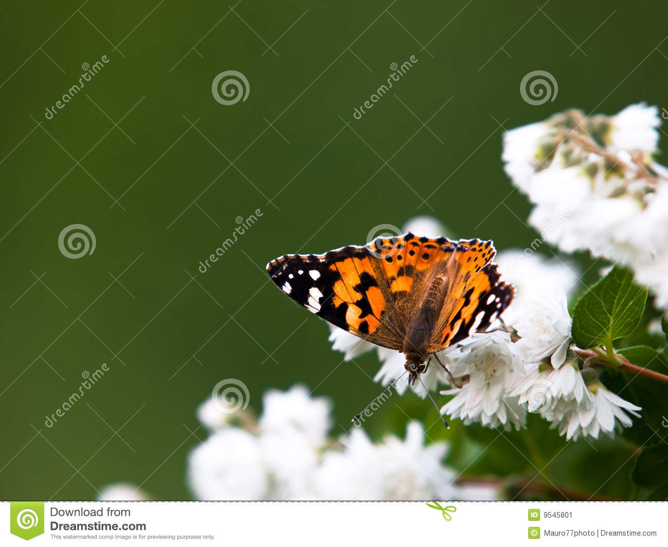 Download Vanessa Cardui butterfly stock image. Image of wings, butterfly - 9545801