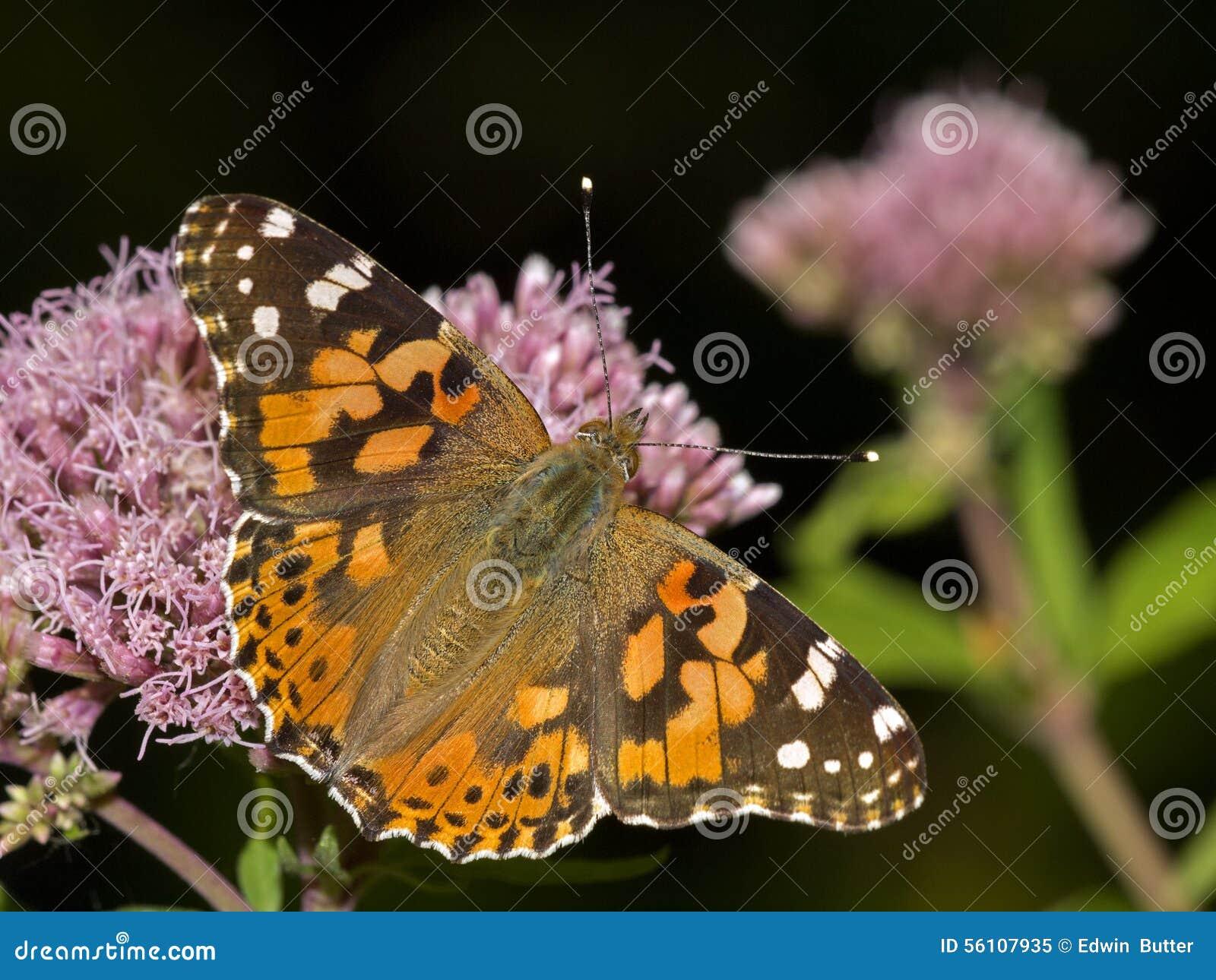 Download Vanessa cardui stock image. Image of flowers, bronx, horizontal - 56107935