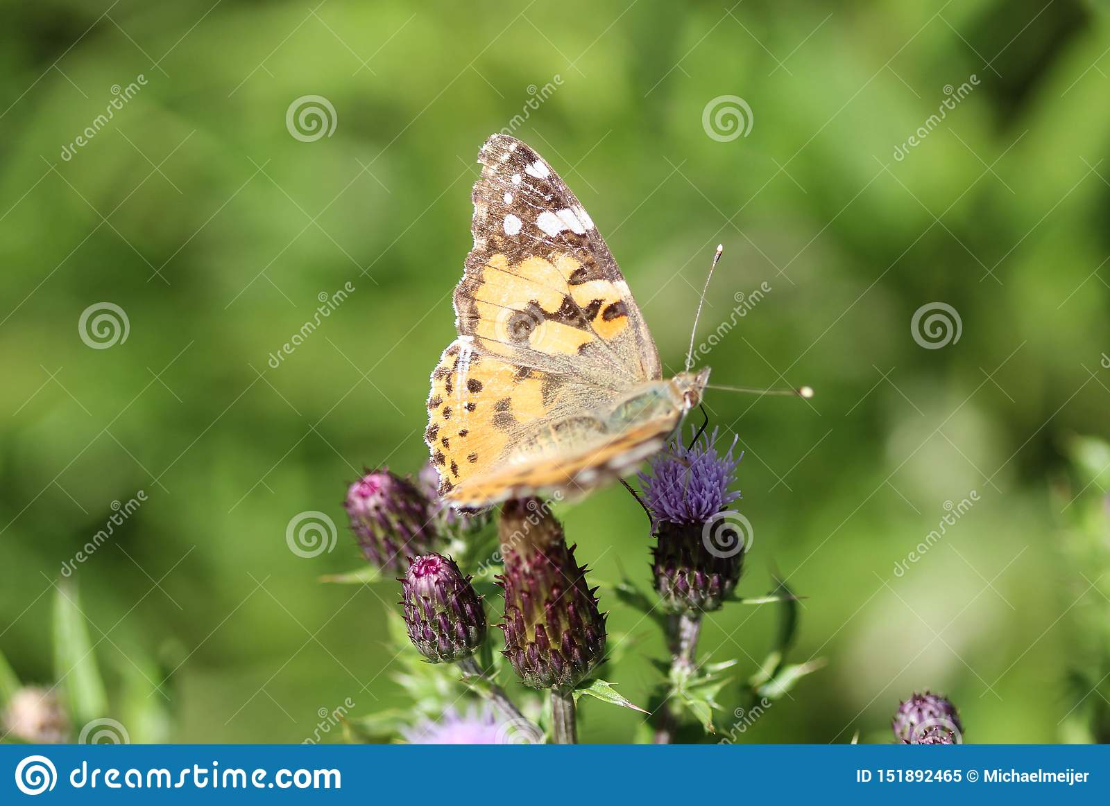 Vanessa cardui a colourful butterfly, known as the painted lady, or cosmopolitan, resting on a thistle flower