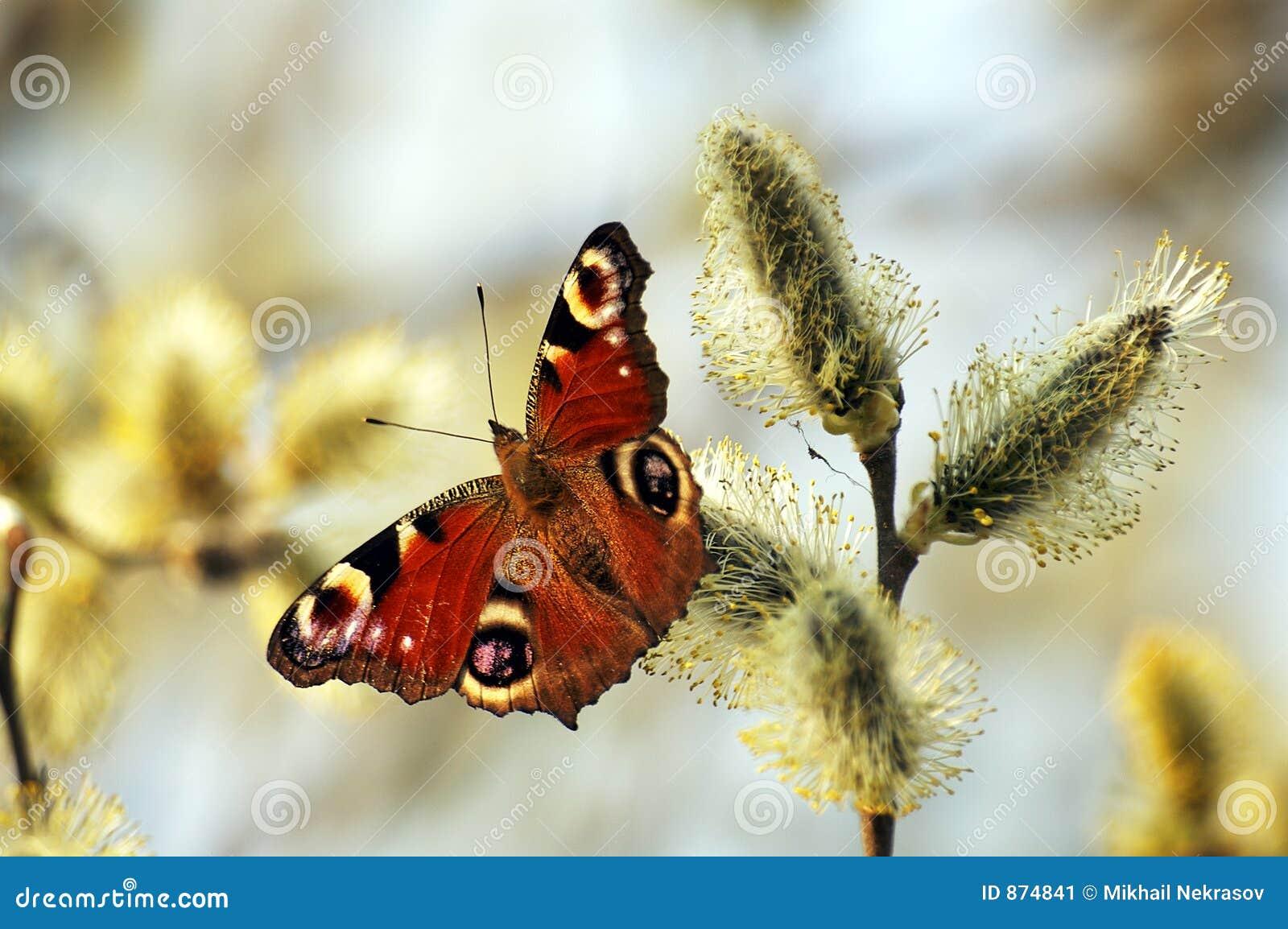 Download Vanessa Io stock image. Image of vanessa, russia, butterfly - 874841