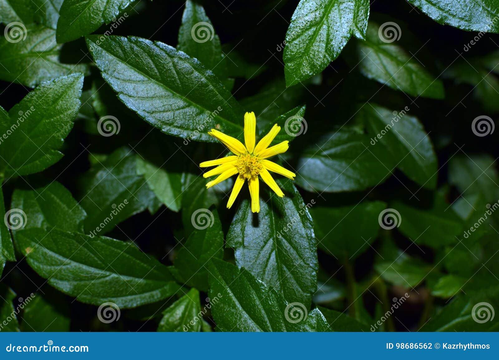 Vaniljplanifolia