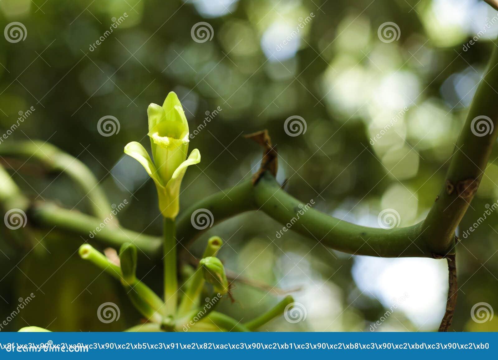 Vanilla flower in tropical garden, closeup