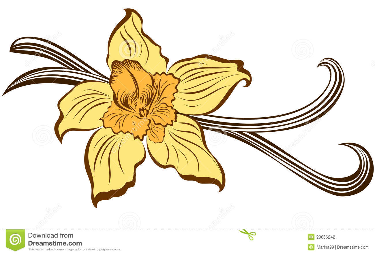 Vanilla Flower And Vanilla Pods Stock Photography - Image 29066242