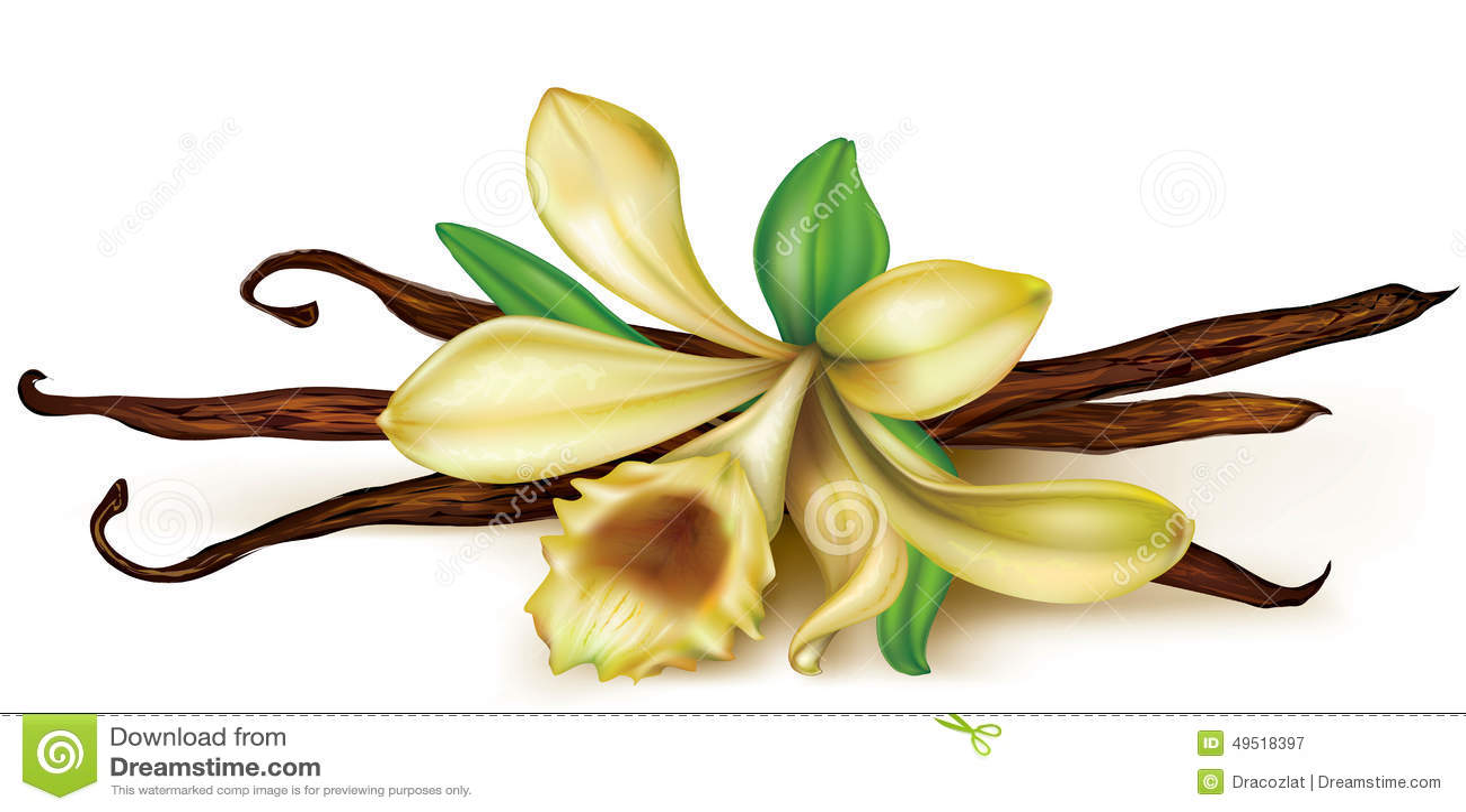 Vanilla Orchid Stock Vector. Illustration Of Floral, Asian