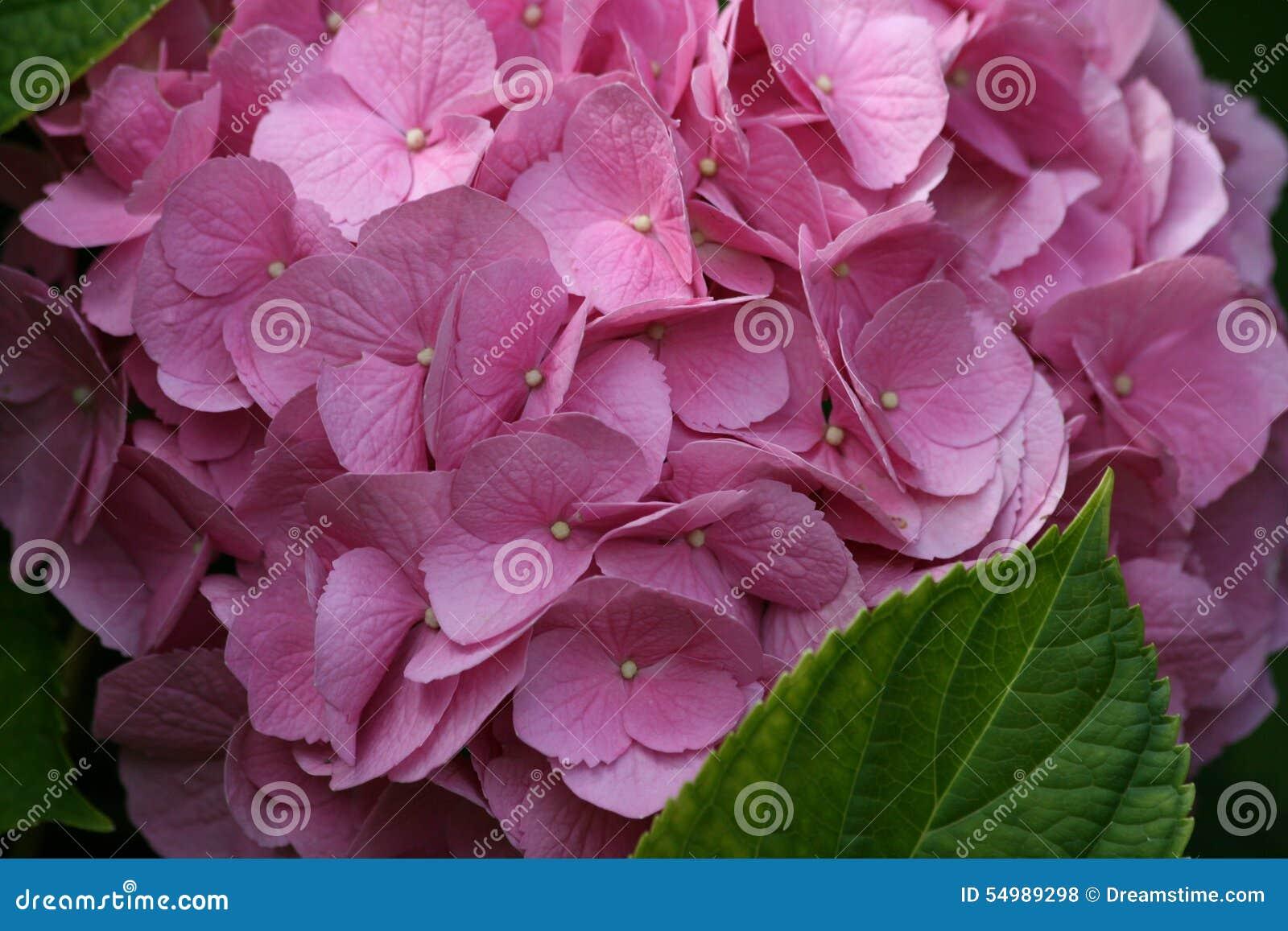 Vanlig hortensiablomma