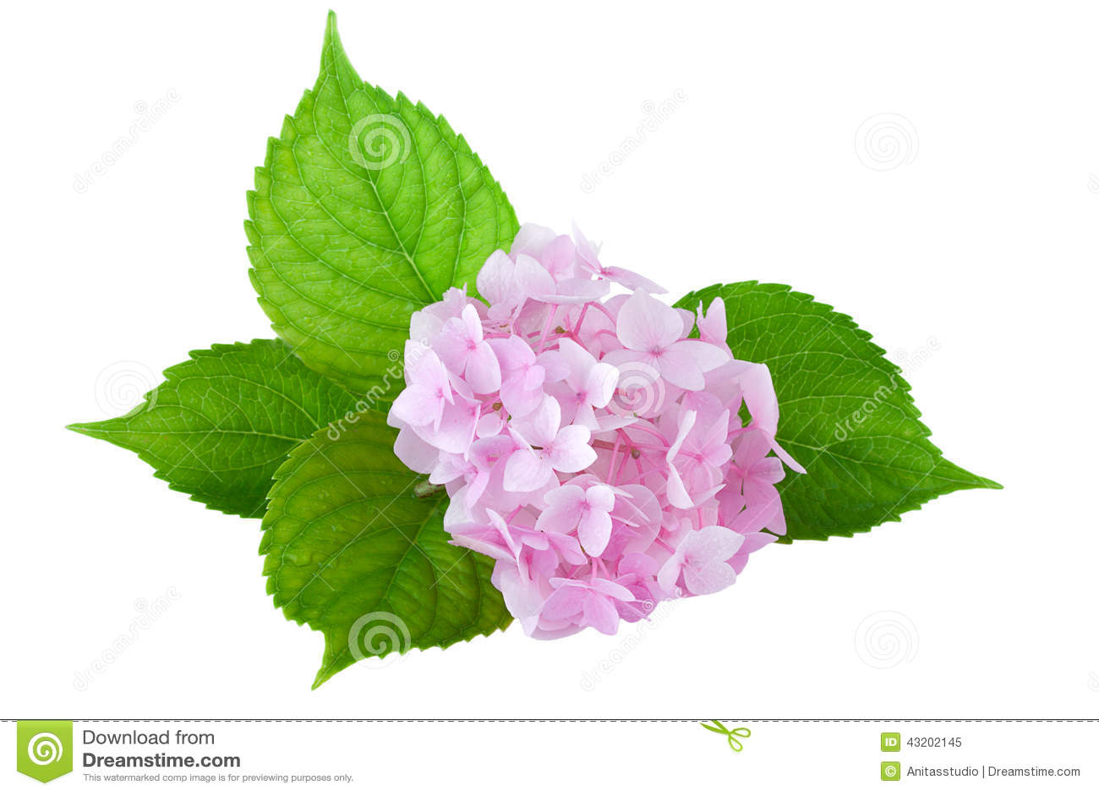 Download Vanlig Hortensiablomma (vanlig Hortensiamacrophyllaen) Fotografering för Bildbyråer - Bild av bild, växt: 43202145