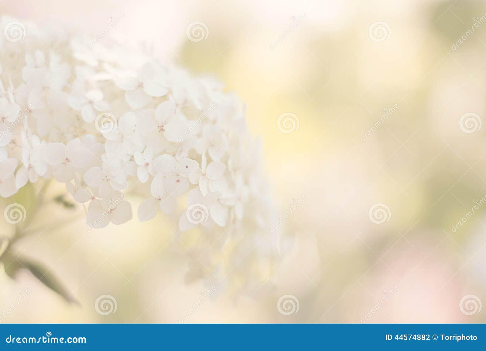 Vanlig hortensiawhite