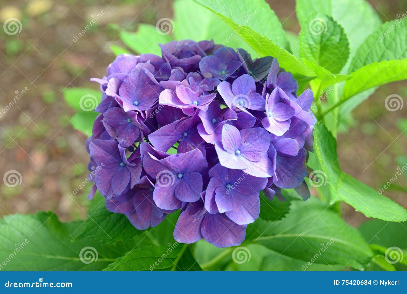 Vanliga Hortensian Blommar Kan ändra Färger Enligt Syrligheten Av
