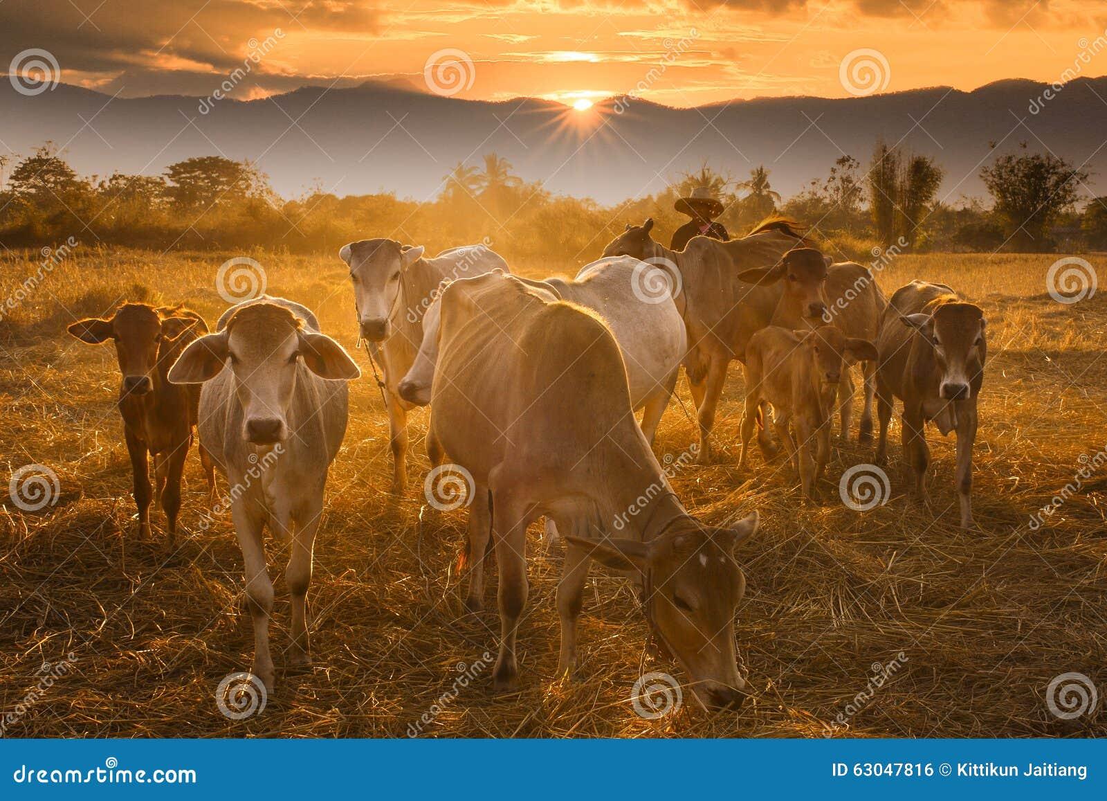 Vaqueiro do por do sol