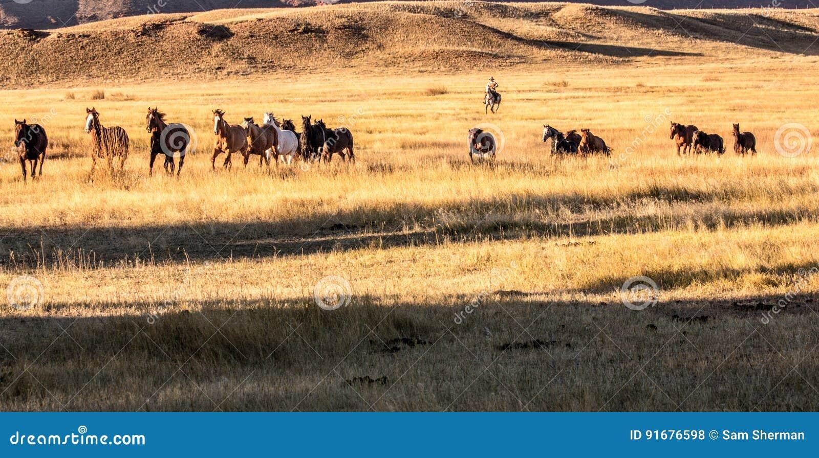 Vaqueiro Wrangling um rebanho dos cavalos