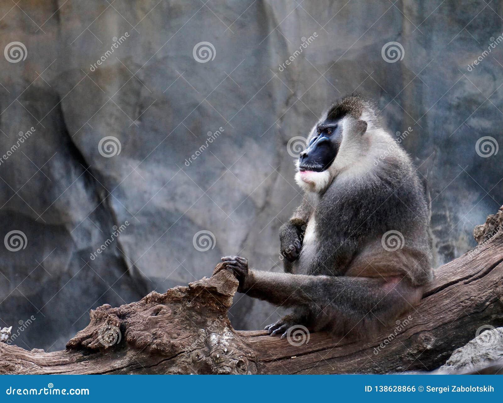 Varón adulto del leucophaeus del Mandrillus del taladro, santuario de Pandrillus, mono