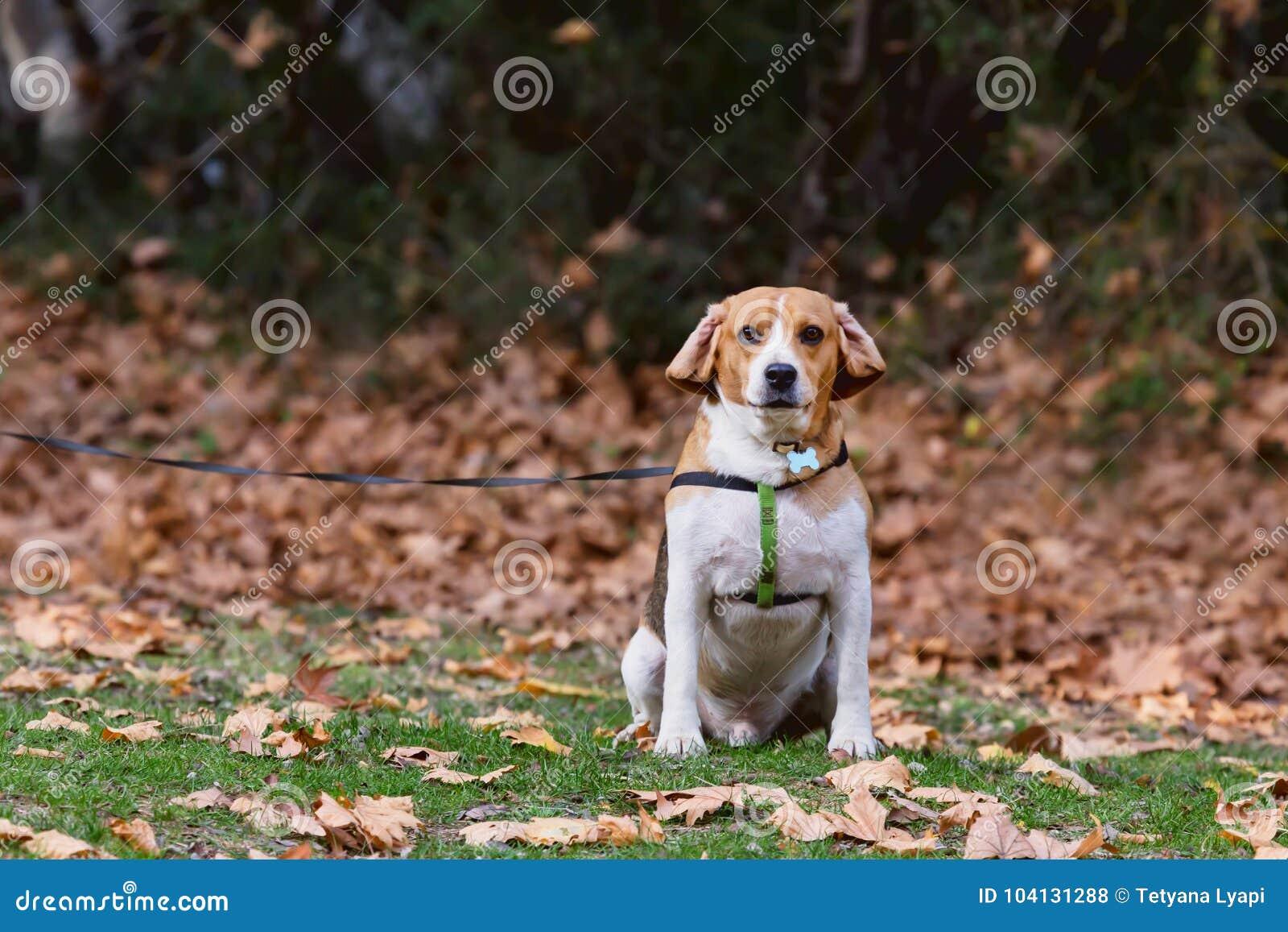 Varón casero del beagle para un paseo