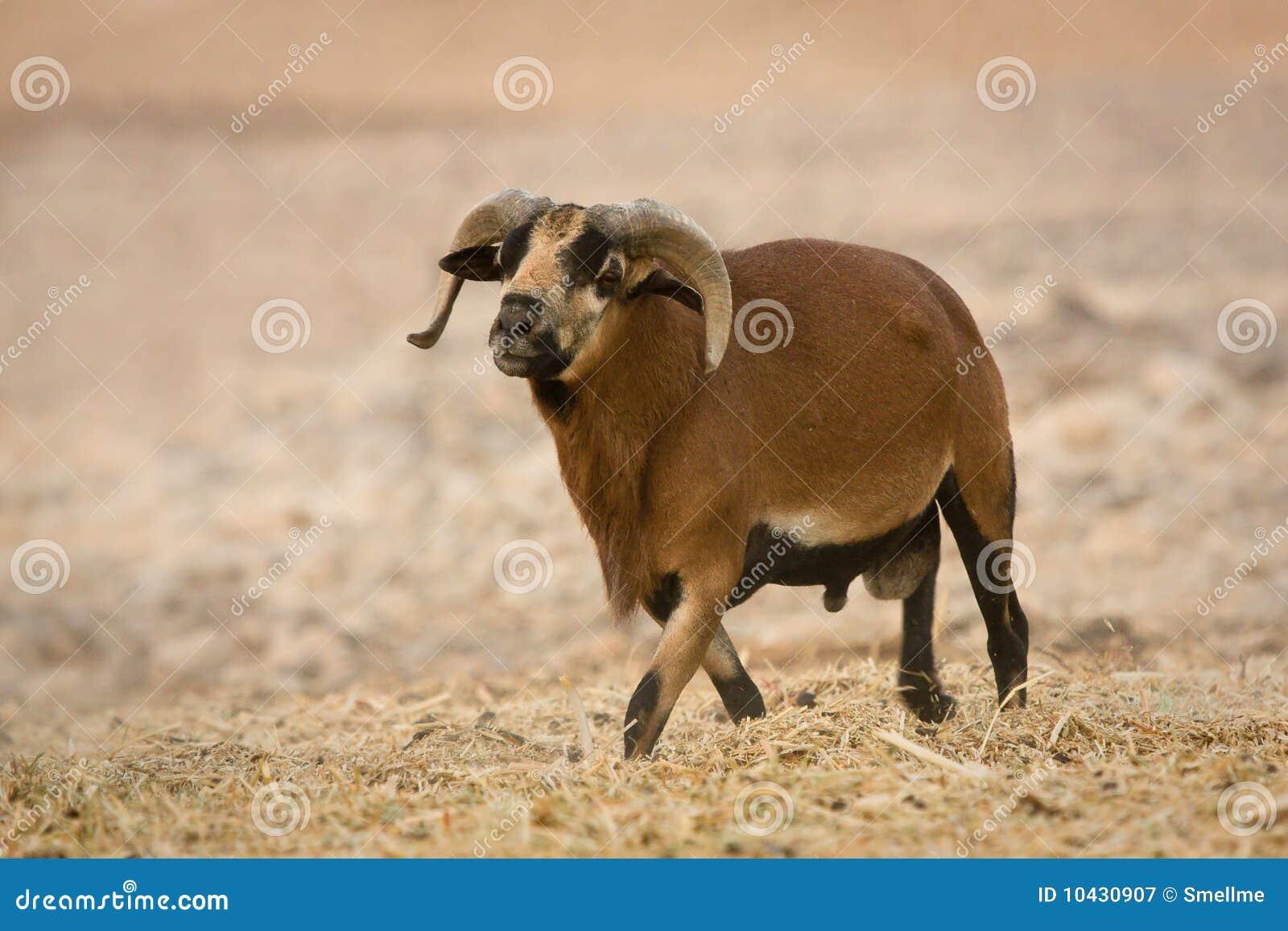 Varón de las ovejas del Camerún