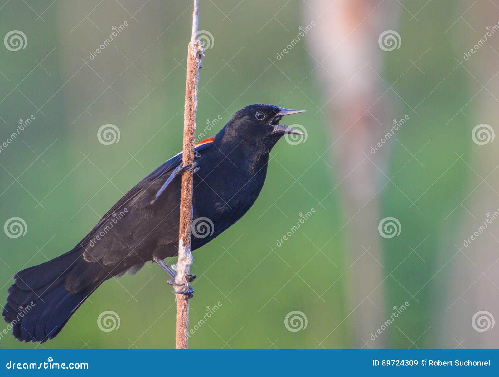 Varón negro del pájaro